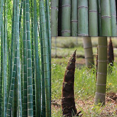 Riesen-Bambus - Moso - Phyllostachys edulis/pubescens - Samen-seeds-Giant Bamboo