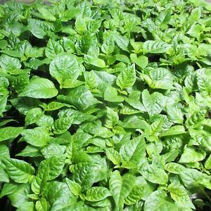 Lot-of-3-75-DAYS-OLD-CAROLINA-REAPER-Worlds-Hottest-Pepper-LIVE-PLANT