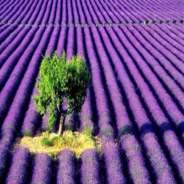 Lavender Fragrance Oil Candle/Soap Making Supplies ***Free Shipping***