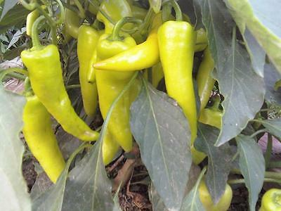 VEGETABLE SWEET PEPPER HUNGARIAN YELLOW WAX SWEET 1000 SEEDS