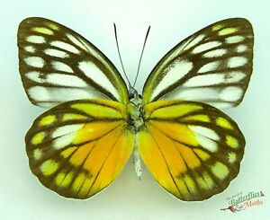 Cepora-timnatha-orange-yellow-REAL-butterfly-x1-Set-Specimen-A1-Entomology
