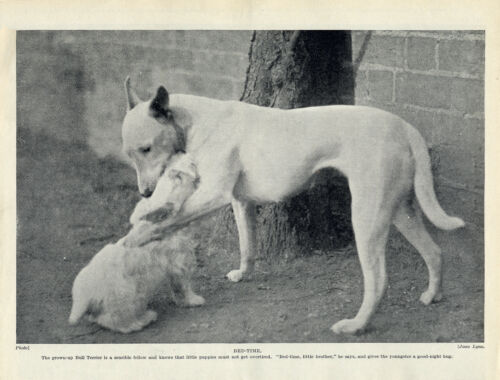 BULL TERRIER AND SEALYHAM PUP #3 LOVELY ORIGINAL DOG PRINT PAGE FROM 1934