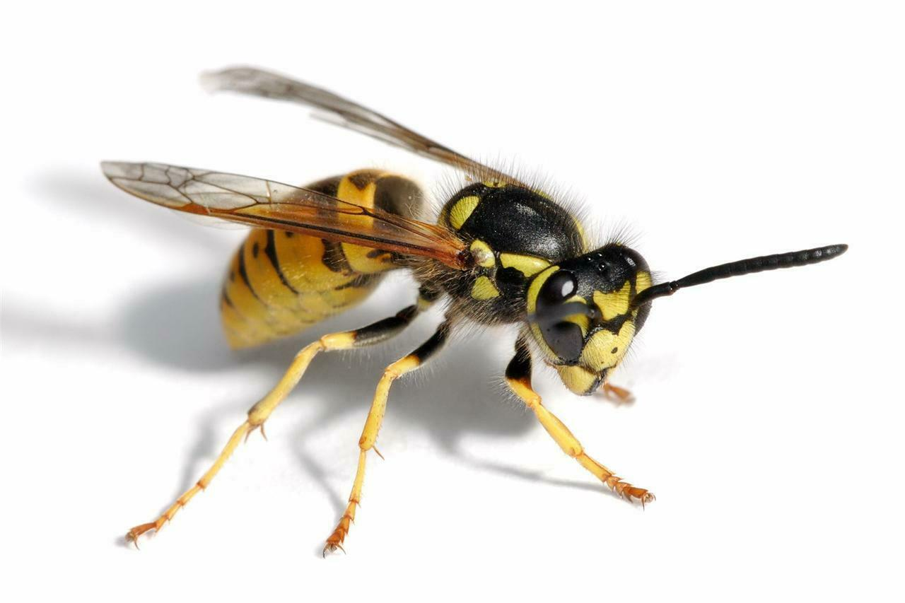 BEE GLOSSY POSTER PICTURE PHOTO wasp yellowjacket hornet insect bug honey 469