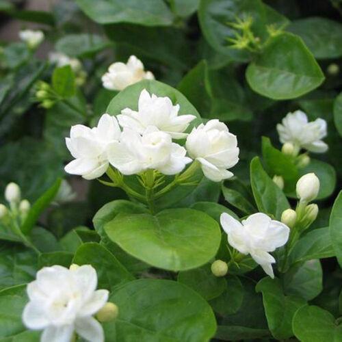 100PCSCAPE JASMINE JASMINIODES WHITE SHRUB AROMATIC FLOWER SEEDS PLANT SUPREME