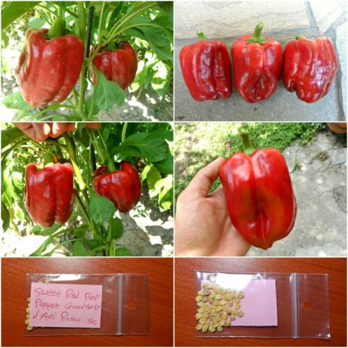 Sweet Red Bell Pepper /'/'Quadrato d/'Asti Rosso/'/' ~50 Top Quality Seeds Sweet