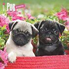 Pug Puppies - 2017 Calendar 30 X 30cm
