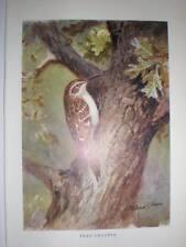 Tree Creeper Roland Green Bird Print 1949