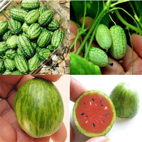 10X Cucamelon Mini Watermelon Red Miniature Seeds Fruit Plant Home Garden Dec ER