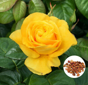 Details About 20 Yellow Rose Flower Seeds Honey Perfume Rare Exotic Home Garden