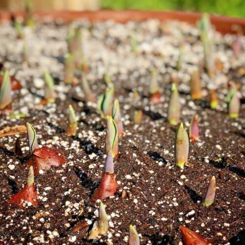 Giuseppe Verdi Tulip BulbsYellow and Red Spring FlowersDwarf Tulip Bulbs