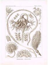 ANTIQUE PRINT NATURE ORIGINAL KUNSTFORMEN DER NATUR ERNST HAECKEL 1899 PLATE 19
