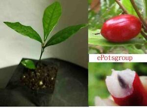 Miracle-Fruit-plante-Arbre-Synsepalum-dulcificum-USA-Achat-2-Obtenez-2-GRATUIT