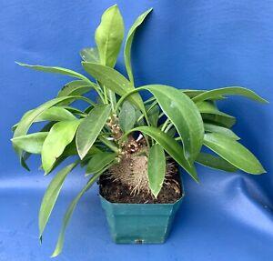 MYRMECODIA-BECCARII-LARGE-SPECIMEN-SHOWN-IN-A-4-POT-ANT-PLANT-1188