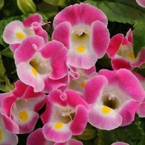 Torenia-Seeds-Kauai-Rose-Seeds-50-Pelleted-Seeds