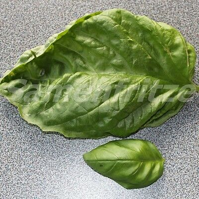 2000 Samen Riesenbasilikum – handgroße Blätter, guter Geschmack
