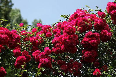10 SEMI DEEP RED CLIMBING ROSE ROSA RAMPICANTE ROSSO SCURO
