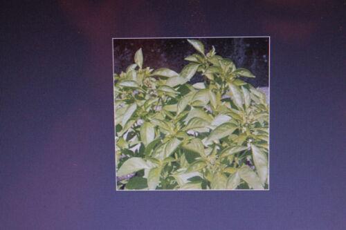 Ocimum species #456 10 SEMI BASILICO AL LIMONE grossblättrig