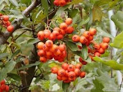 50 X Firethorn Tree Seeds (pyracantha Coccinea) Tree Shrub Seeds. Uitstekend In Kusseneffect