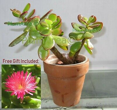 Rooted 4/'/' Jade House Plant Succulent Crassula Ovata Cutting Drought Resist