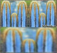 Blue Cactus Seeds - P. Purpureus - Gorgeous Blue Collector Dream Cactus Without