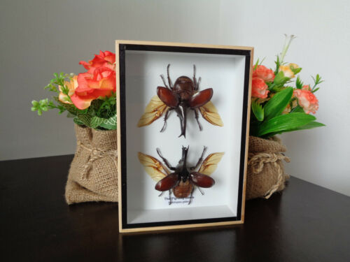 Taxidermy Real Pair Fighting Stag Beetles Boxed Display Entomology Home Decor