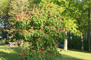 1 Dwarf Red Buckeye Tree In Container 6 8 With Free Orange Tree Ebay