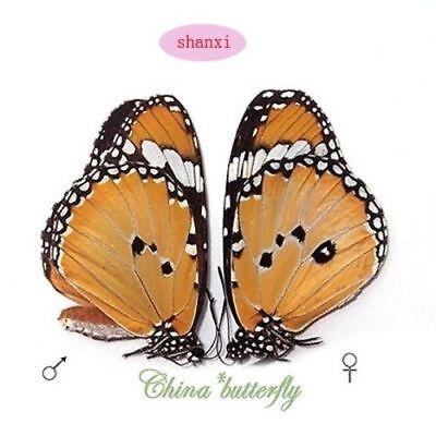 Danaus chrysippus,Unmounted butterfly