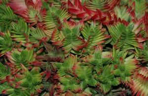 Crassula-Red-Pagoda-Shark-Tooth-Succulent-1-rooted-cutting-1-4-034-tall