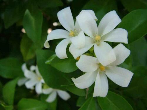 20 Graines Murraya paniculata fermier Orange Jasmin Parfumé fleurs blanches