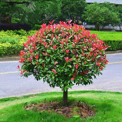 "Резултат с изображение за ""Photinia x fraseri 'Red Robin'"""