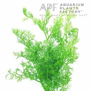 Water Sprite Ceratopteris Siliquosa Bunch Live Aquarium Plants BUY2GET1FREE*