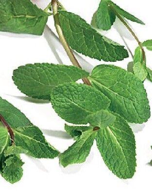 Herb - Green Mint - Mentha Viridis - 1000 Seeds