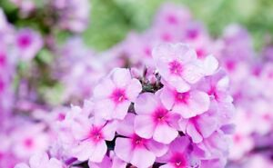image is loading tall garden phlox paniculata 039 eva cullum 039 - Tall Garden Phlox