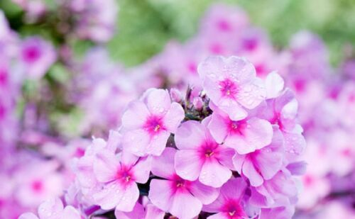 TALL GARDEN PHLOX PANICULATA /'Eva Cullum/' Flowering Perennial Nectar Live Plant