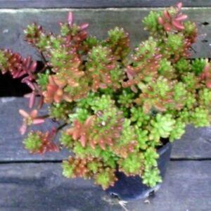 SEDUM-RUBROTNCTUM-034-Red-Jelly-Beans-034-Ground-Cover-Succulent-Hanging-Basket-Plant