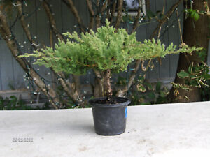 Juniper Bonsai 46 Prebonsai 4 Pot Informal Upright Exc Canopy Trunk Ebay