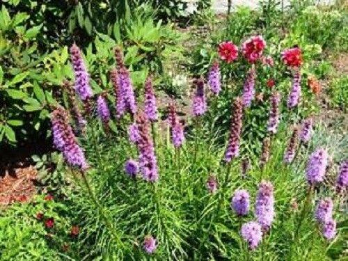 Gift /& Comb S//H 500 PURPLE BLAZING STAR GAYFEATHER LIATRIS Spicata Flower Seeds