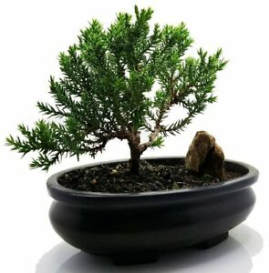 Juniper-Tree-Bonsai-Best-Gift-FREE-Fertilizer-Easy-To-Care-Indoor-Outdoor