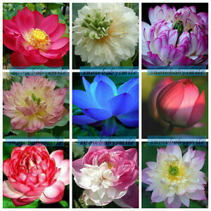 60 Variety Lotus Seeds Bowl Water Lily Pad Nelumbo Nucifera Pond