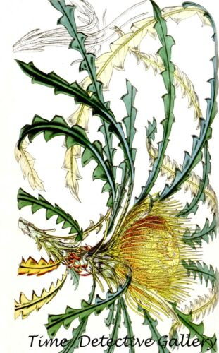 Kerosene Bush Botanical Illustration of Dryandra Nobilis