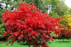 15 semi di acer rubrum acero rosso spedizione gratuita for Acero rosso giapponese