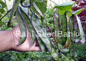 Hyacinth Bean King - The Longest Hyacinth Bean that Can Grow Over 16cm in Length