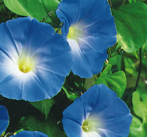 Image Is Loading Ipomoea Morning Glory Heavenly Blue 500 Grams Appx