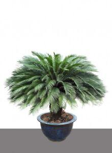Franc Seedeo ® Japonais Palmfarn (cycas Revoluta) 2 Graines-afficher Le Titre D'origine