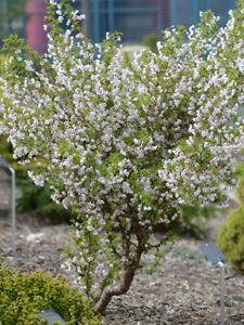 prunus incisa kojo no mai pot 3 litres cerisier fleur. Black Bedroom Furniture Sets. Home Design Ideas