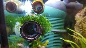 Java-moss-on-bamboo-tube-with-suction-cup-on-the-side-for-shrimp-and-crayfish