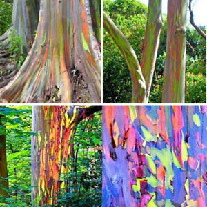 100Pcs-Rainbow-Eucalyptus-Tree-Seeds-Rare-Kind-Perennial-Decor-In-Forest