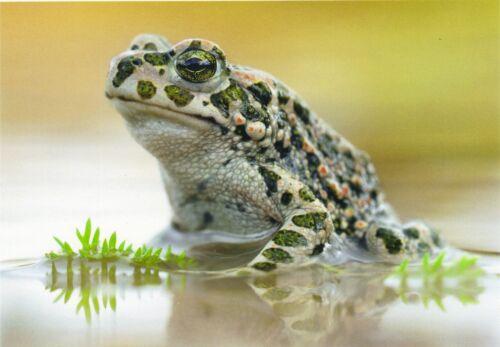 Bufo viridis sehr schönes Porträt Wechselkröte Postkarte