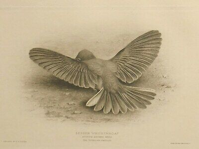 Art 1910 British Warblers Print Lesser Whitethroat ~ GrÖnvold Refreshing And Enriching The Saliva