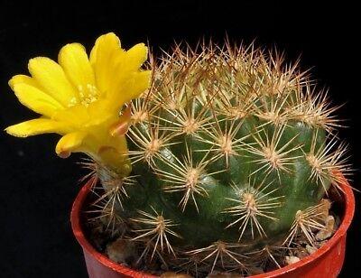 10 Graines De Rebutia Corona - Cactus Seeds- Semillas A Tutti I Costi
